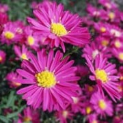 'Crimson Brocade' forms a compact of narrow, mid-green leaves and clusters reddish-pink, semi-double, daisy-like flowers. Aster novi-belgii 'Crimson Brocade' added by Shoot)