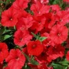 Petunia x hybrida 'Surfinia Red Hot'