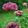 Papaver orientale 'Patty's Plum' (Oriental poppy 'Patty's Plum')
