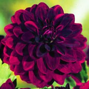 'Arabian Night' is an herbaceous perennial, with double, velvety dark crimson (almost black) flowers with incurved petals throughout summer. Dahlia 'Arabian Night' added by Shoot)