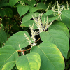 Fallopia japonica (Japanese knotweed)
