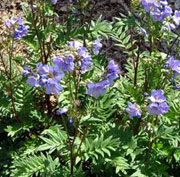 Polemonium 'Bressingham Purple'