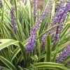 Liriope muscari 'Gold-banded' (Lilyturf 'Gold-banded')