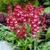Penstemon hartwegii 'Tubular Bells Rose' (Penstemon 'Tubular Bells Rose')