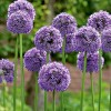 Allium 'Gladiator' (Allium 'Gladiator')