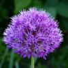 Allium hollandicum 'Purple Sensation' (Allium 'Purple Sensation')