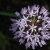 Allium 'Purple Sensation' (Allium hollandicum 'Purple Sensation')