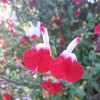 Salvia 'Hot Lips' (Sage 'Hot Lips')