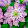 Clematis 'Crystal Fountain' (Clematis 'Crystal Fountain')