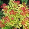 Pieris japonica 'Mountain Fire' (Japanese pieris 'Mountain Fire')