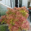 Japanese pieris 'Mountain Fire' (Pieris japonica 'Mountain Fire')