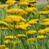 Achillea filipendulina 'Cloth of Gold' (Yarrow 'Cloth of Gold')