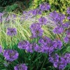 Agapanthus 'Loch Hope' (African lily 'Loch Hope')