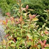 Photinia davidiana 'Palette' (Christmas berry 'Palette')