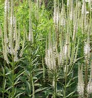Veronicastrum virginicum 'Album'