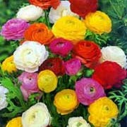 Ranunculus asiaticus added by Shoot)