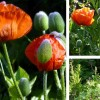 Common poppy (Papaver rhoeas)