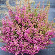 Erica gracilis added by Shoot)
