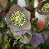 Helleborus purpurascens (Lenten rose 'Purple')