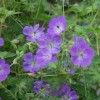 Geranium 'Jolly Bee' (Cranesbill 'Jolly Bee')