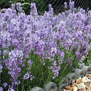 'Little Lady' is a compact erect english lavender with sage green leaves and mid violet flowers. Lavandula angustifolia 'Little Lady' added by Shoot)