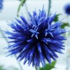 Echinops ritro 'Veitch's Blue' (Small globe thistle 'Veitch's Blue')