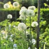 Allium 'Mount Everest' (Allium 'Mount Everest')