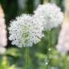 Allium stipitatum 'Mount Everest' (Allium 'Mount Everest')