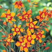 'Emily McKenzie' Crocosmia x crocosmiiflora 'Emily McKenzie' added by Shoot)