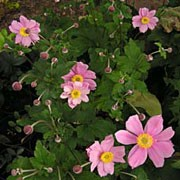 'Serenade' is a tall, herbaceous perennial with divided, dark-green leaves.  In late summer and early autumn, on tall stems, it bears large, semi-double, dark-pink flowers with prominent yellow stamens. Anemone x hybrida 'Serenade' added by Shoot)