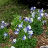 Columbine 'Blue Star' (Aquilegia 'Blue Star' (Star Series))