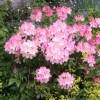 Rhododendron 'Percy Wiseman' (Rhododendron 'Percy Wiseman')