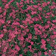'Leuchtfunk' is a low, mat-forming evergreen perennial with tufts of linear, dark green foliage.  In su mer, it is covered with flat, deep red flowers. Dianthus deltoides 'Leuchtfunk' added by Shoot)