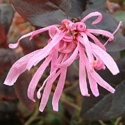 'Fire Dance' is a mid-sized evergreen shrub with purple foliage.  Related to the witch hazel, it has similar spidery flowers, which are pink and scented, appearing in late winter. Loropetalum chinense f. rubrum 'Fire Dance'  added by Shoot)