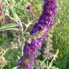 Buddleja davidii 'Black Knight' (Butterfly bush 'Black Knight')