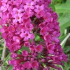 Buddleja davidii 'Royal Red' (Butterfly bush 'Royal Red')