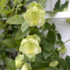 Cobaea scandens f. alba (White-flowered cup-and-saucer vine)
