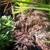 Acer palmatum 'Red Pygmy' (Japanese maple 'Red Pygmy')
