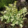 Euonymus fortunei 'Blondy' (Spindle 'Blondy')