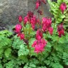 Dicentra 'King of Hearts' (Fern-leaved bleeding heart)