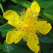 Hypericum calycinum added by Shoot)