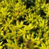 Sedum kamtschaticum var floriferum 'Weihenstephaner Gold' (Orange stonecrop 'Weihenstephaner Gold')