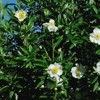 Carpenteria californica (Tree anemone)