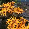 Ligularia dentata 'Dark Beauty' (Leopard plant 'Dark Beauty')