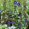 Ipomoea purpurea 'Grandpa Otts' (Morning glory 'Grandpa Otts')