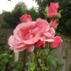 Rosa 'The Queen Elizabeth' (Rose 'The Queen Elizabeth')
