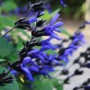 Salvia guaranitica 'Black and Blue' (Anise-scented sage)