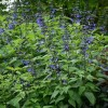 Salvia guaranitica 'Black and Blue' (Anise-scented sage 'Black and Blue')