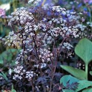 'Ravenswing' is an upright herbaceous perennial with attractive, deep purple, finely divided foliage.  From late spring to mid-summer, it bears dainty umbels of small white flowers with pink bracts. Anthriscus sylvestris 'Ravenswing' added by Shoot)