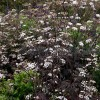 Anthriscus sylvestris 'Ravenswing' (Purple cow parsley)
